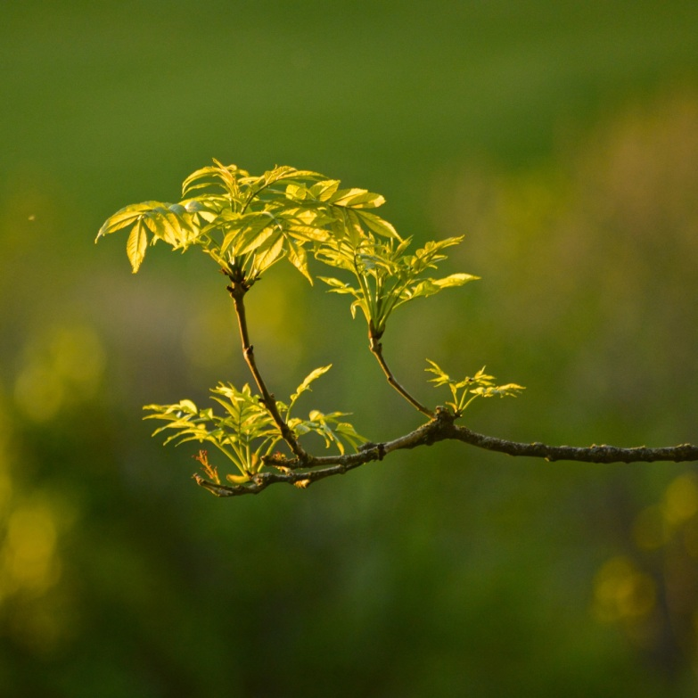 Ash Tree in light