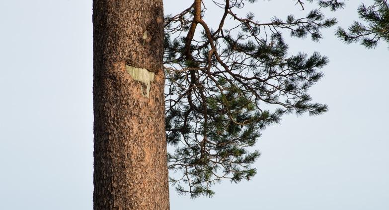 Glencoyne Pine Scarred Trunk