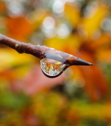 water drop on beech branch