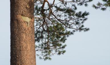 glencoyne pine trunk