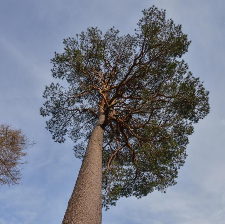 glencoyne pine whorls