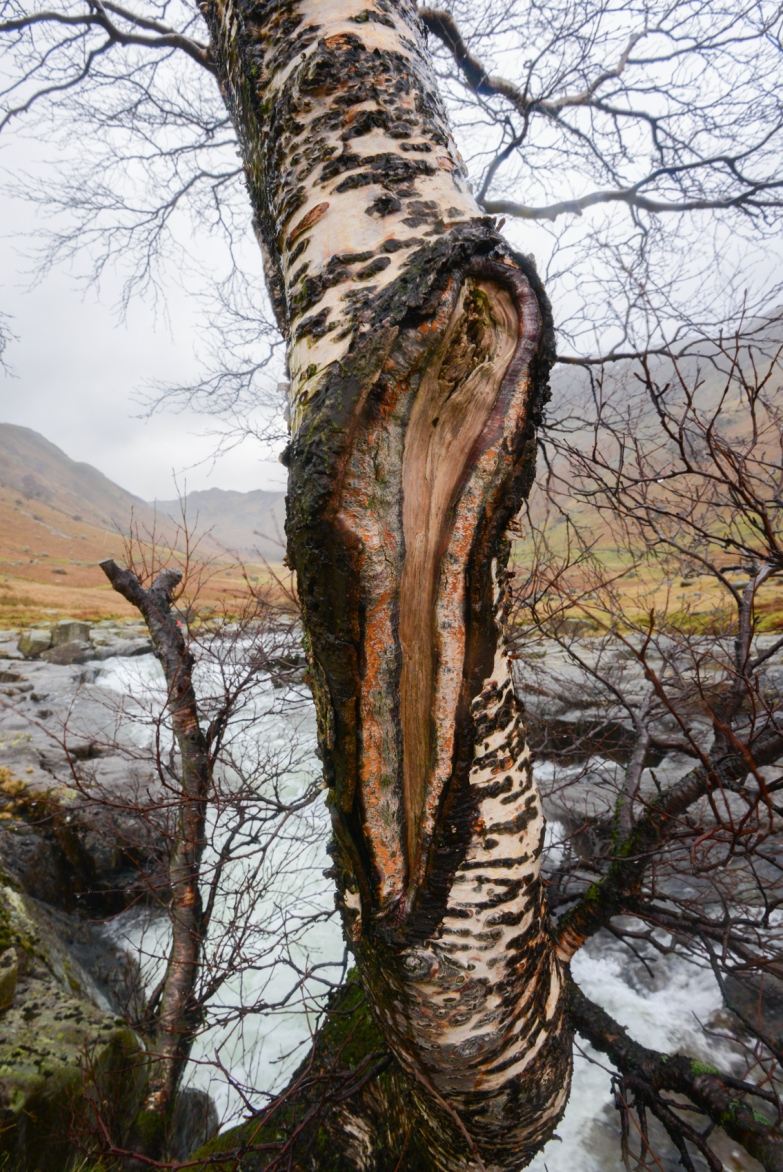 the Langstrath Birch