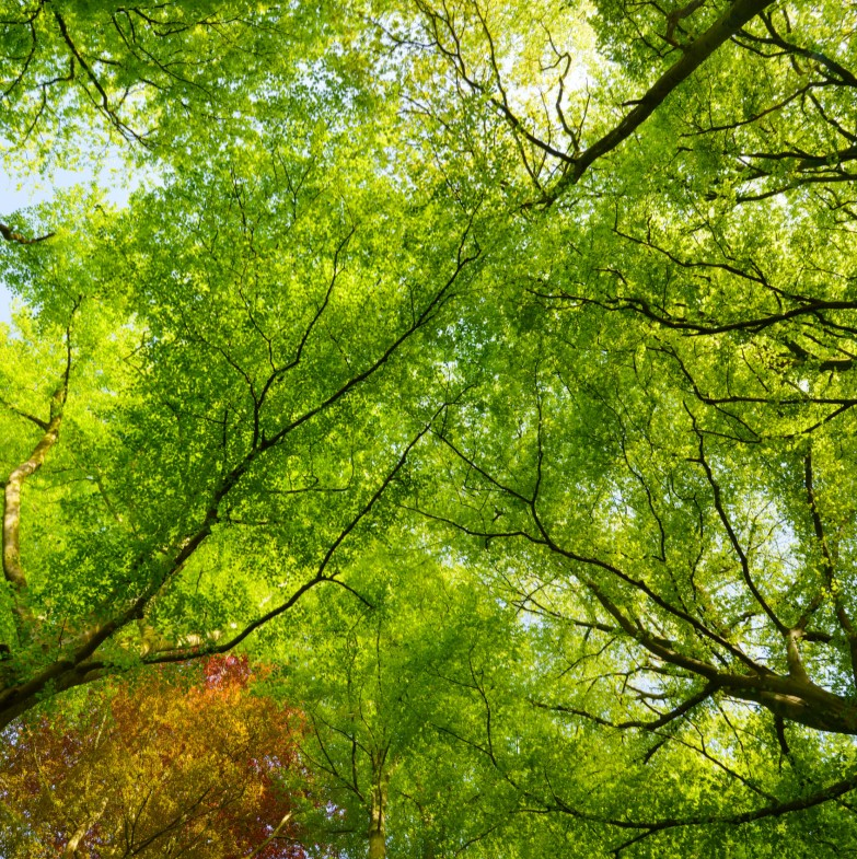 Looking up in a beech wood