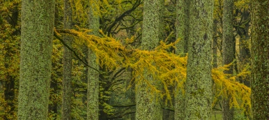 larch wood