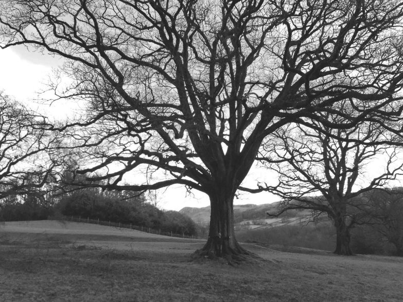 keith bamber 600 yr old oak tree