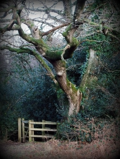 rachael Clyne's Coleford Oak oak