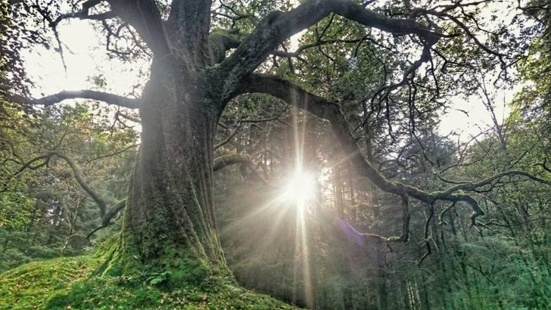 tim brown oak tree image