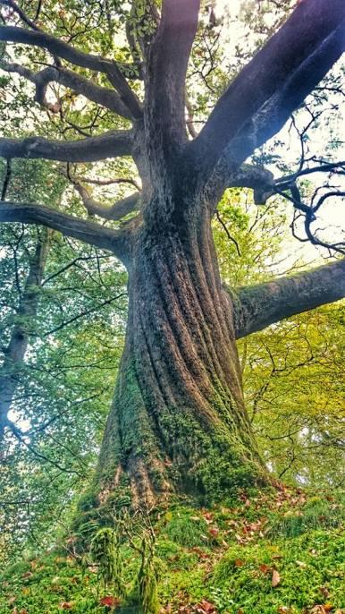 tim brown oak tree image 2