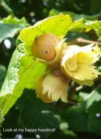 hazel nuts (amanda drake)