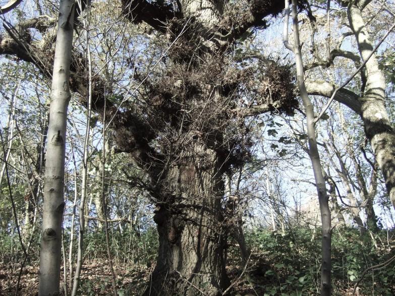 old oak - photo by jean atkin