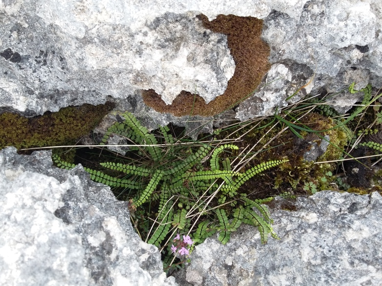 Maidenhair spleenwort and thyme growing in a clint.