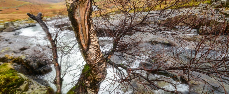 Winter birch bark and river