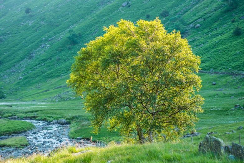 Langstrath Birch in summer