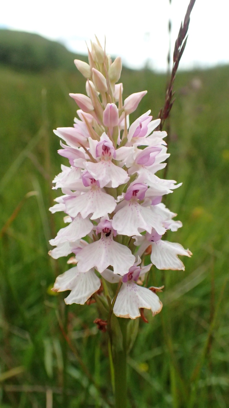 Orchid, Lake District
