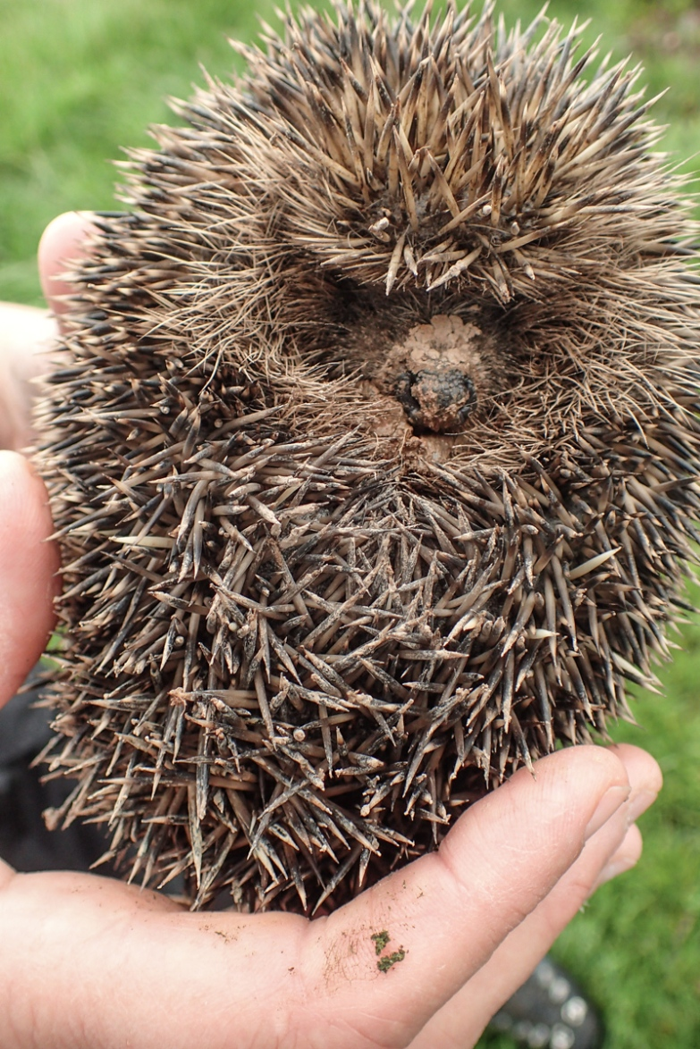 Rescued hedgehog.