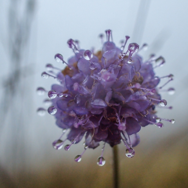 Scabious in mist, Troutbeck Valley