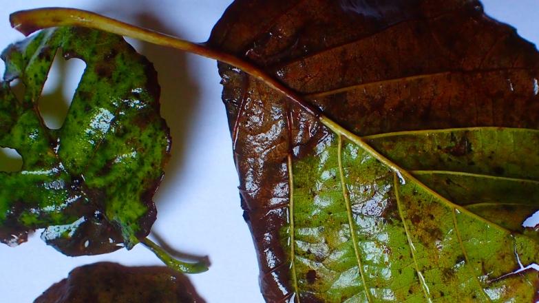 Alder leaves turning brown