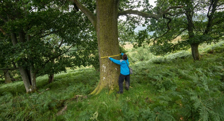 Measuring the oak
