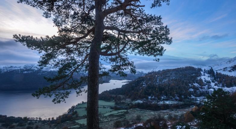 Glencoyne Pine over snowy landscape