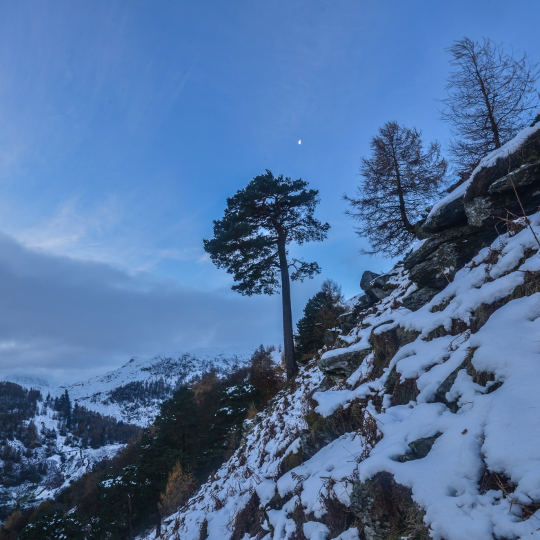 Half moon hanging above the Glencoyne Pine