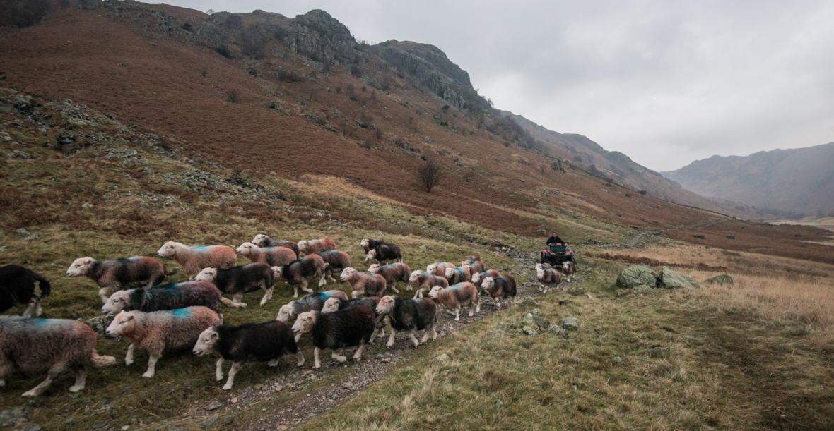 Sheep in Langstrath Valley