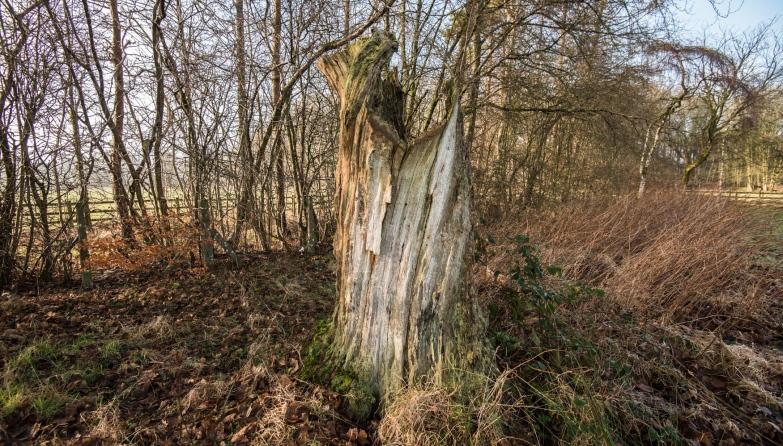 the Calgarth Oak