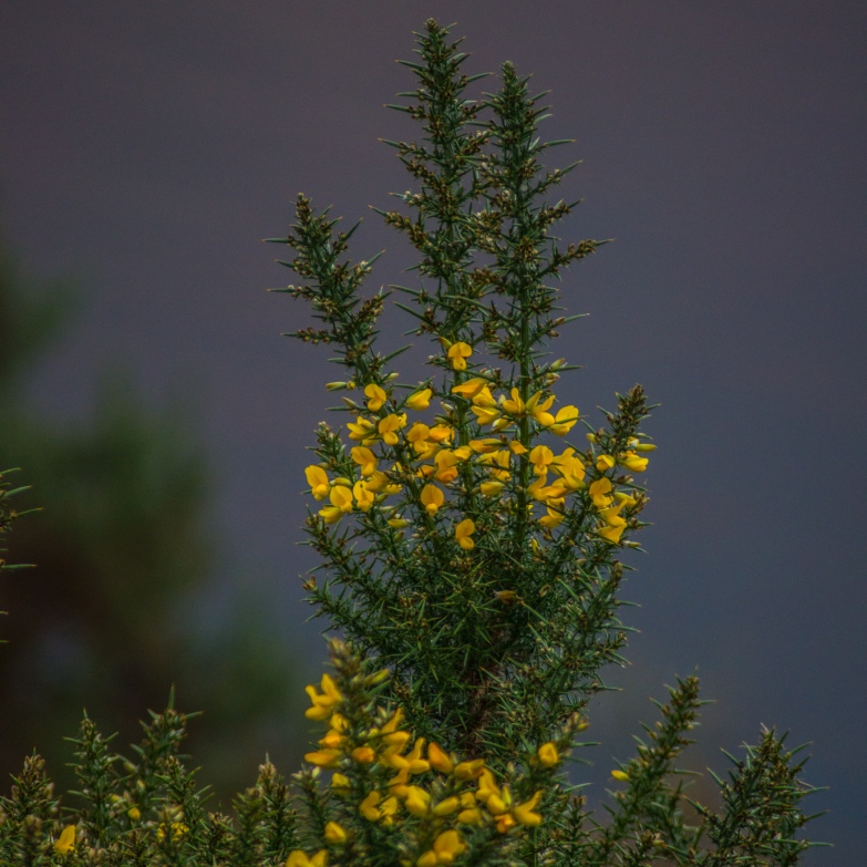 Burst of yellow from the gorse bushes.