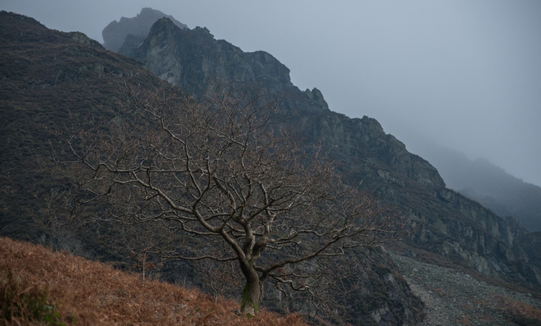 Wasdale Oak with the crags behind