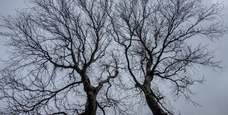 winter canopy : the Langstrath Birch