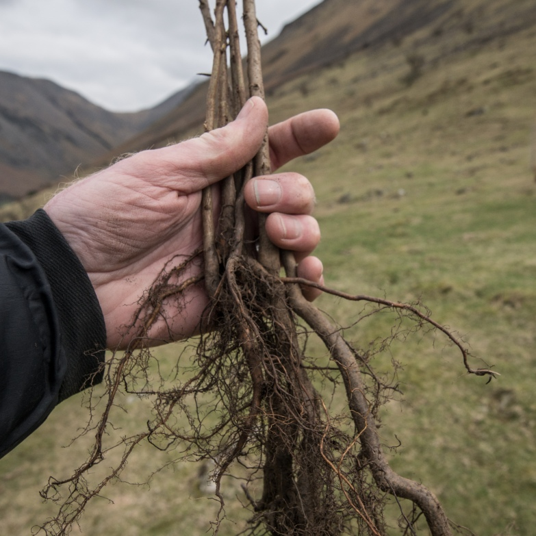 A handful of trees to be planted at Wasdale.