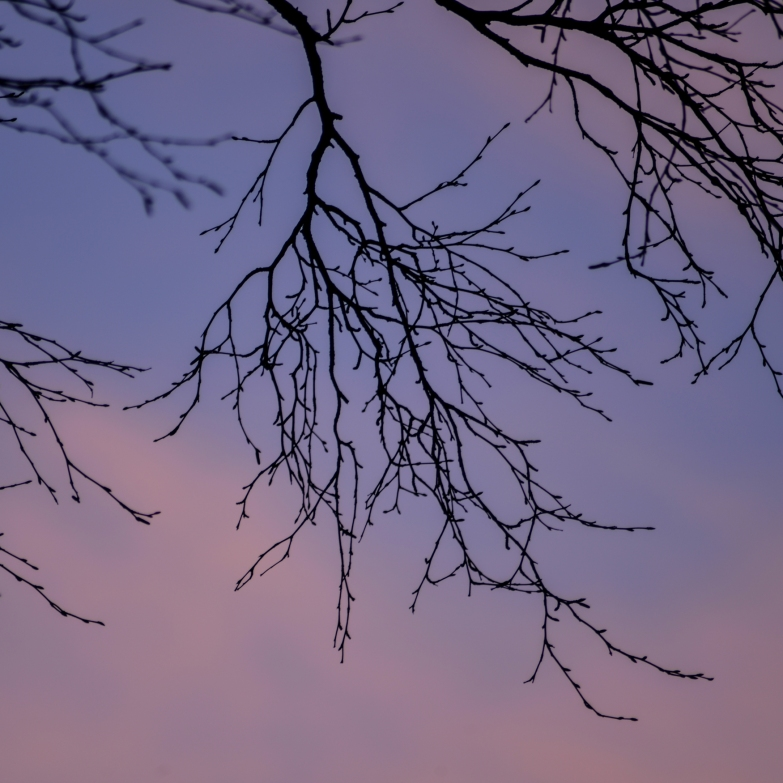 pink sky behind the birch