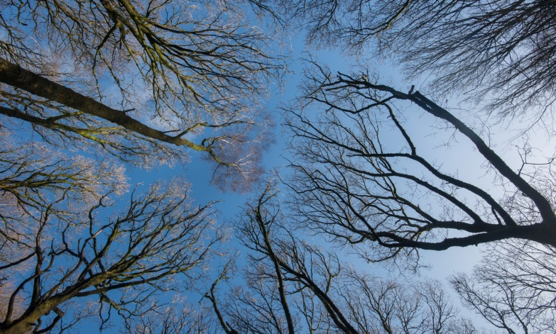 Looking into the canopy of Force Knott woods.
