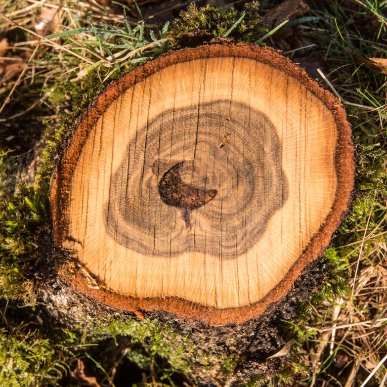newly coppiced oak