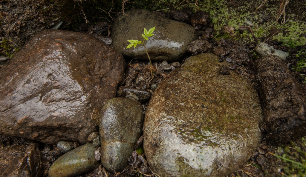 Ash sapling replanted