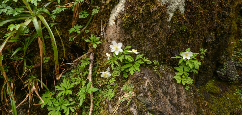 Wood Anemones in Trout Beck