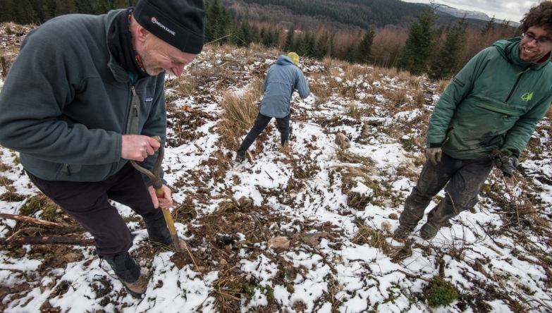 Planting aspens on a cleared site at Grizedale Forest.