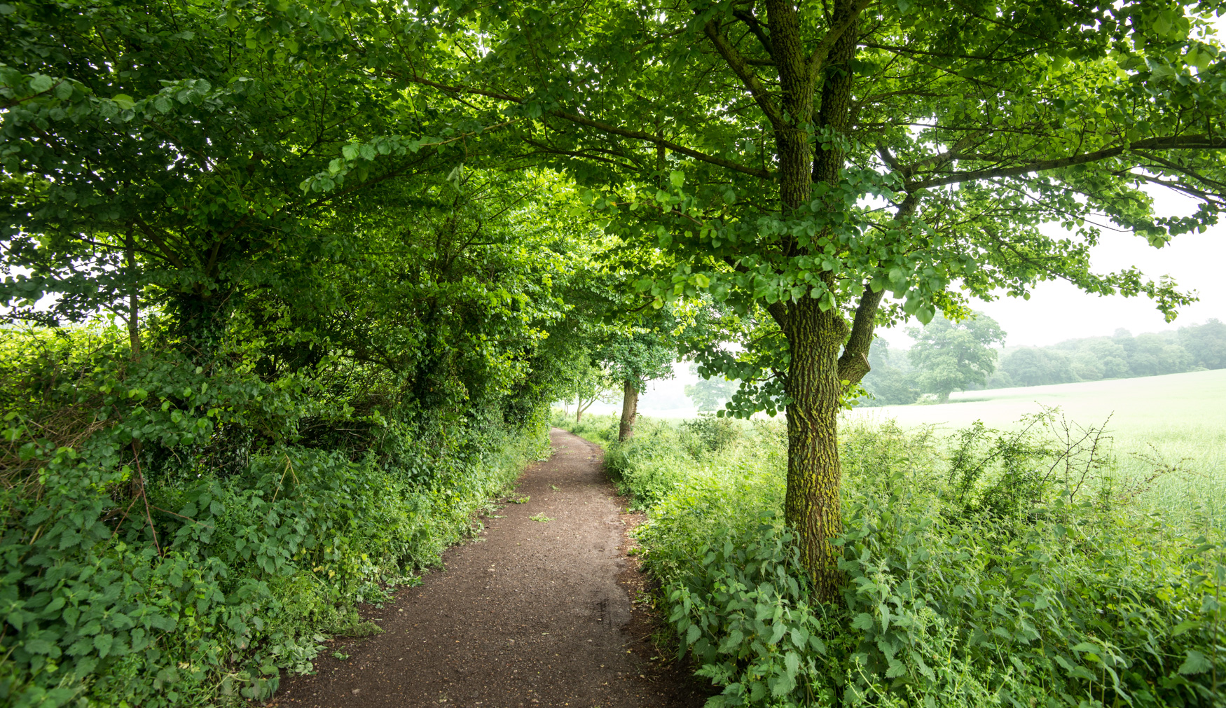 English elm line the path towards Kingley Vale