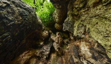 looking up into the hollow trunk of one of the Preston Elms