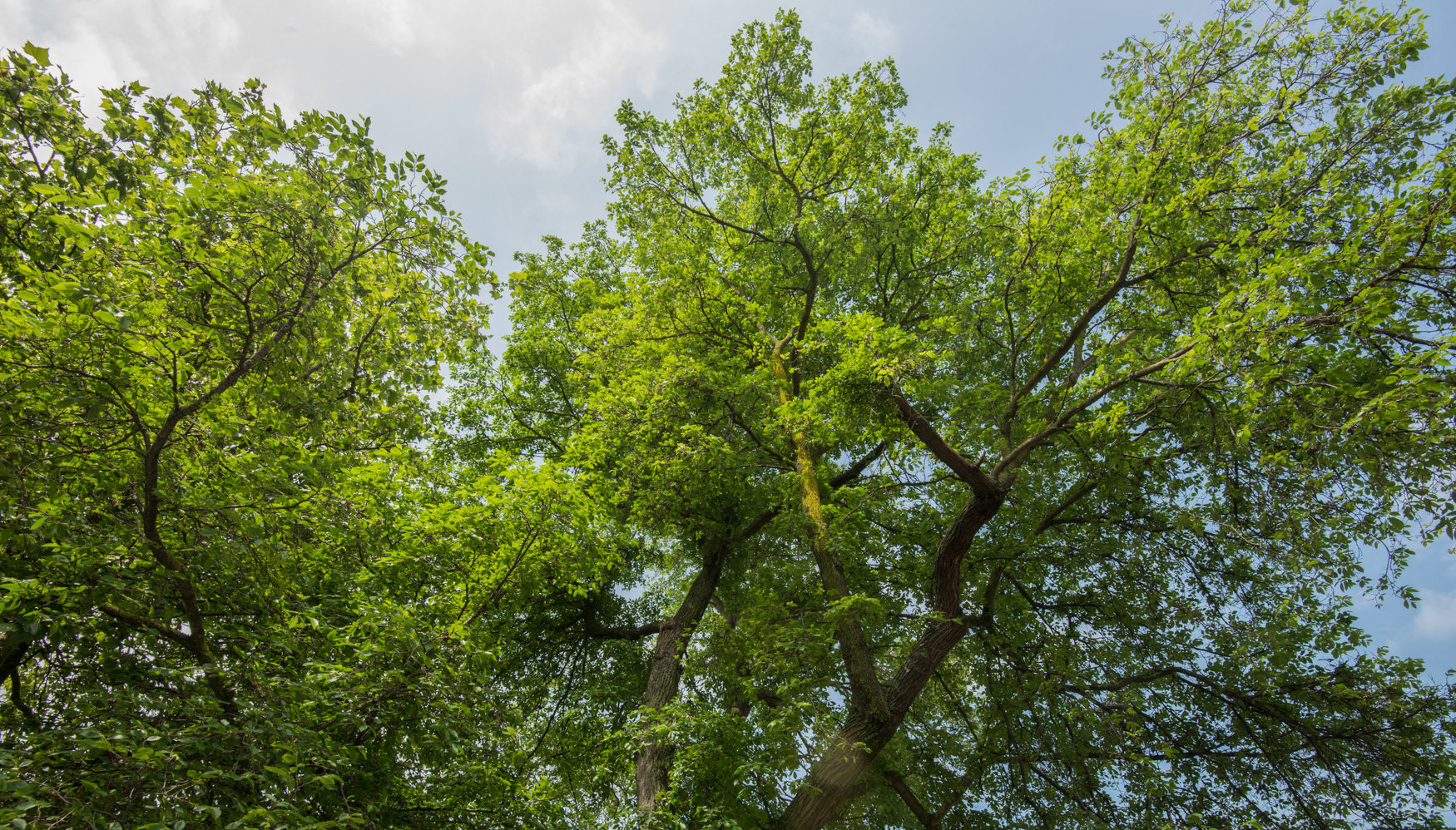 preston elm canopy